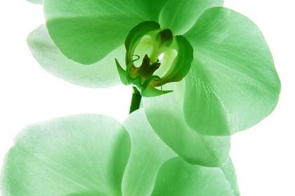 Орхидея. Тропическая красавица.